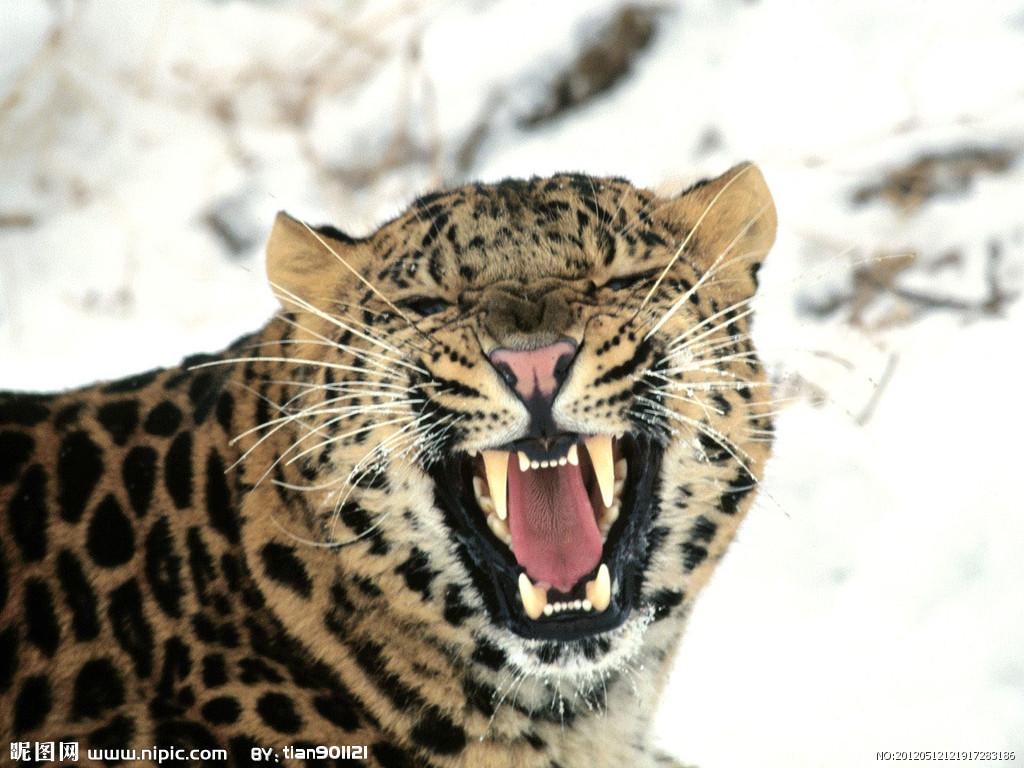 豹 豹子 壁纸 动物 桌面 1024_768