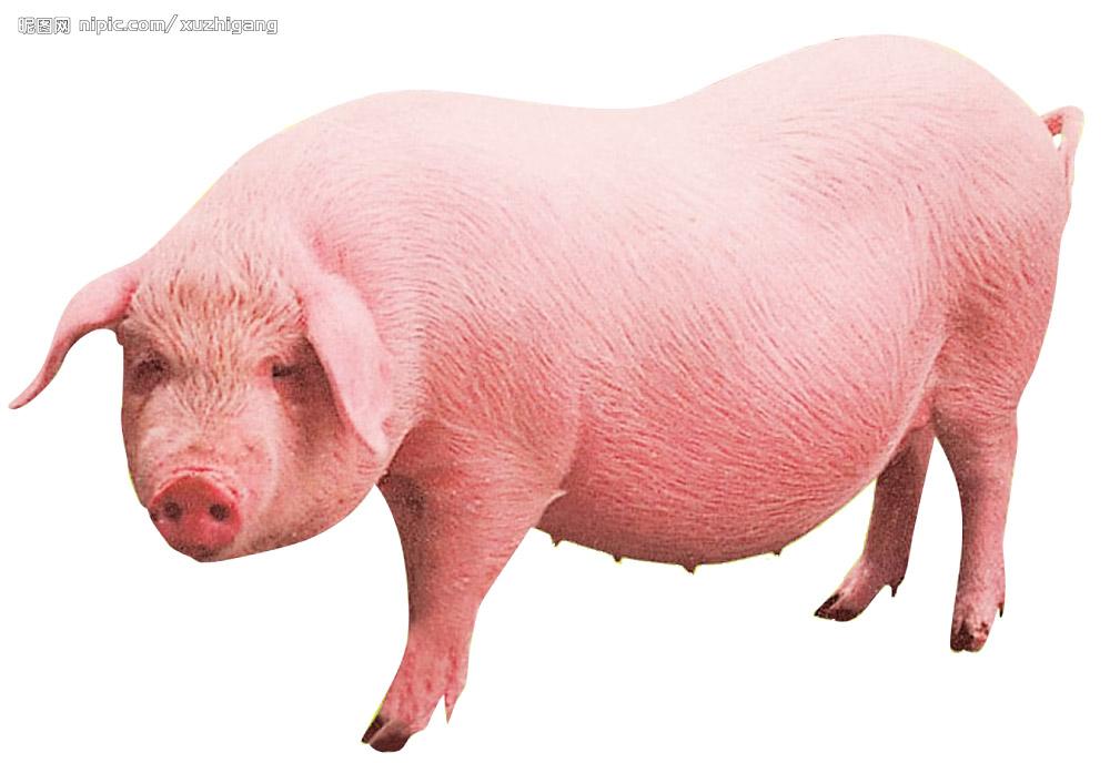 猪被水冲走的图片大全