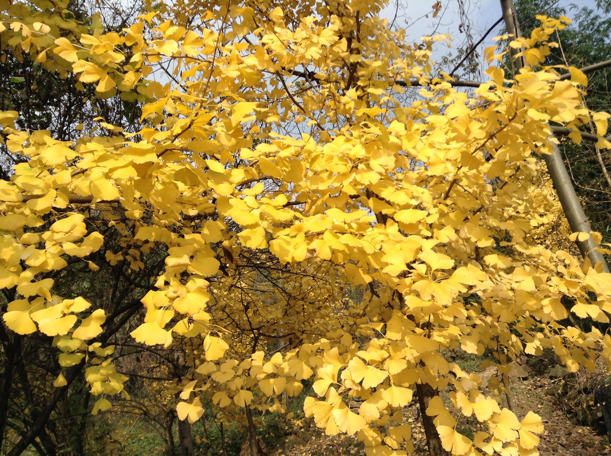 壁纸 风景 森林 银杏 银杏树 银杏叶 桌面 2592_1936