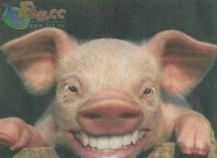 发几张猪的搞笑图片供大家发财开心