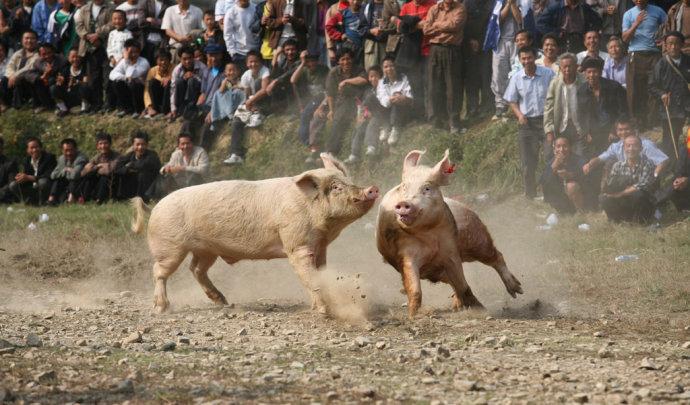 猪打架元旦快乐_海南椰岛(600238)股吧