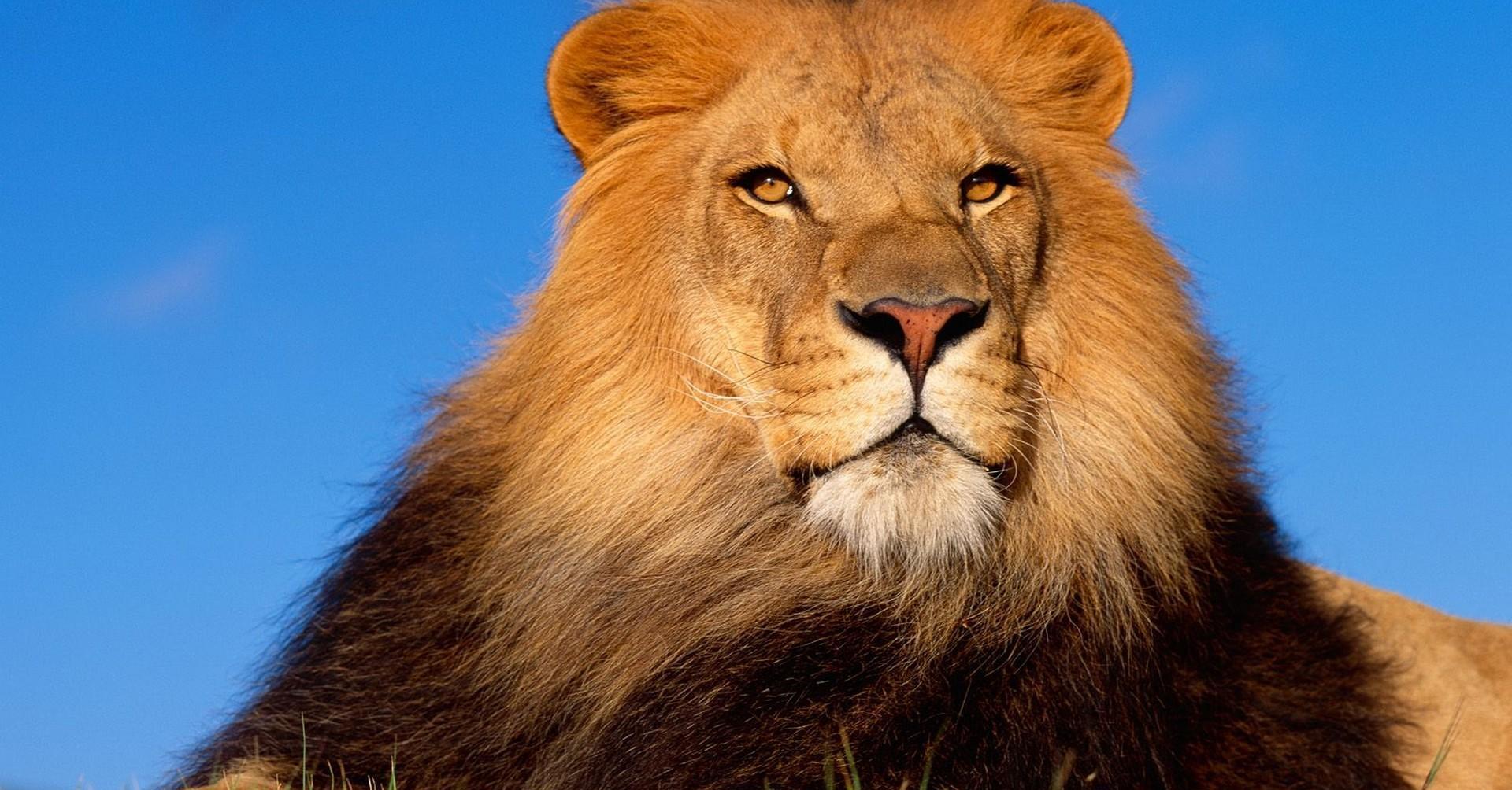 壁纸 动物 狮子 桌面 1920_1080