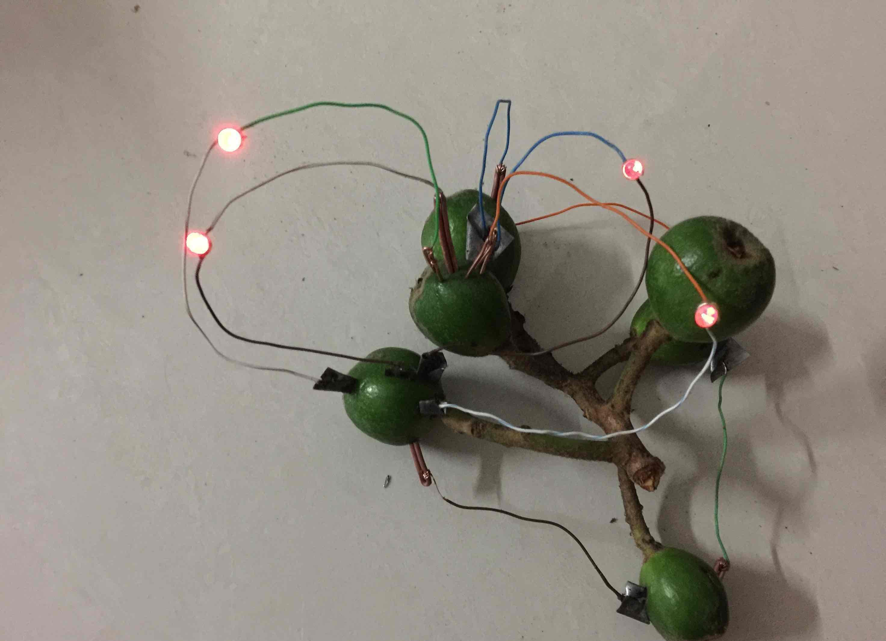 有趣的实验,昨天培儿子搞的水果电池,一串串未成熟的枇杷果,即然点亮