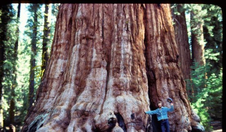 雪曼将军树——世界上最大的树