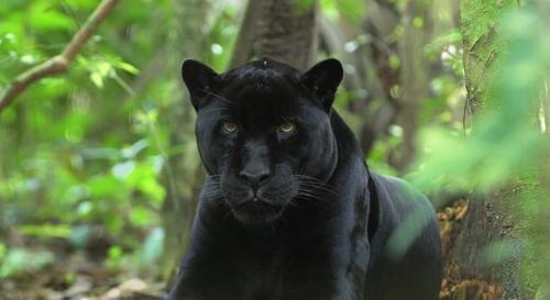 黑豹图片动物霸气