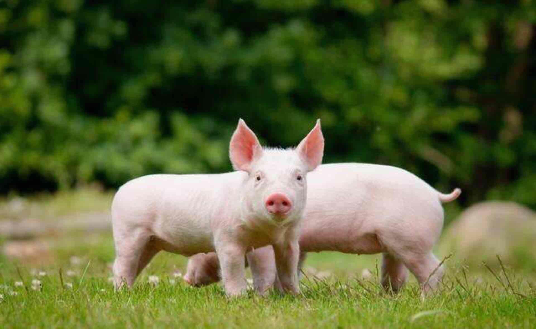 苹果做动物小猪