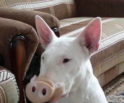 像猪一样的狗叫什么